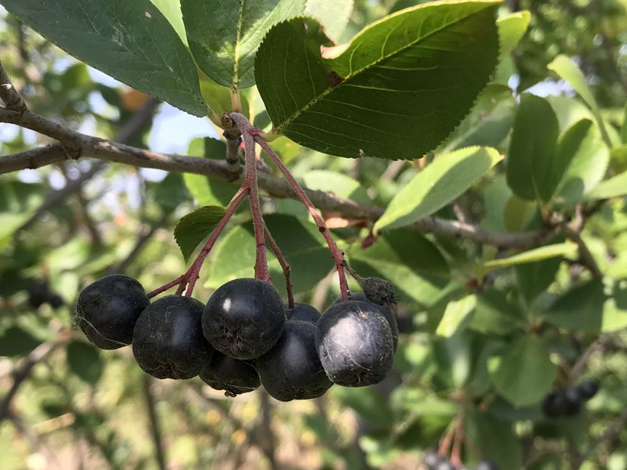 Арония черноплодная (лат. Aronia melanocarpa)