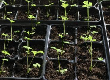 Черешковый сельдерей: выращивание из семян в открытом грунте