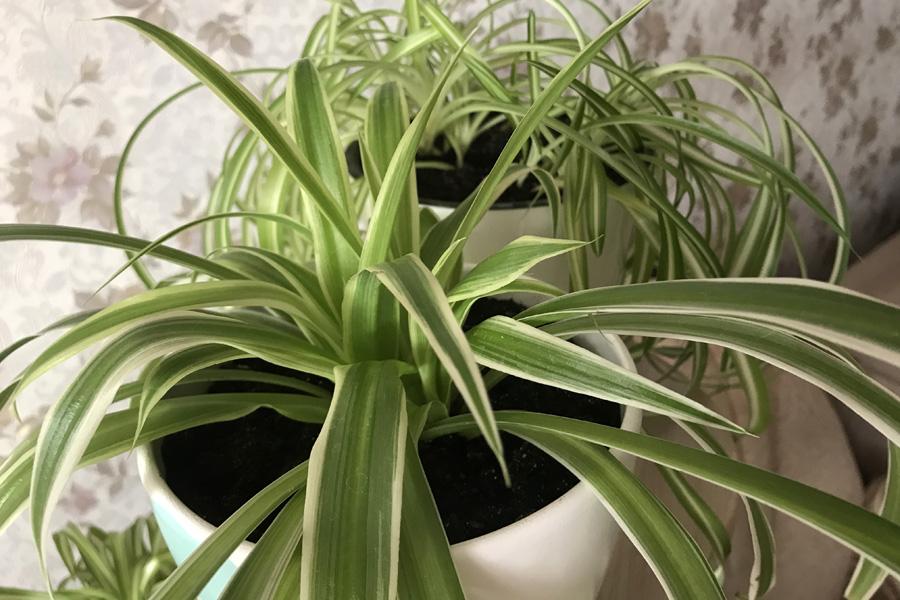 Хлорофитум хохлатый (Chlorophytum comosum): инструкция по уходу