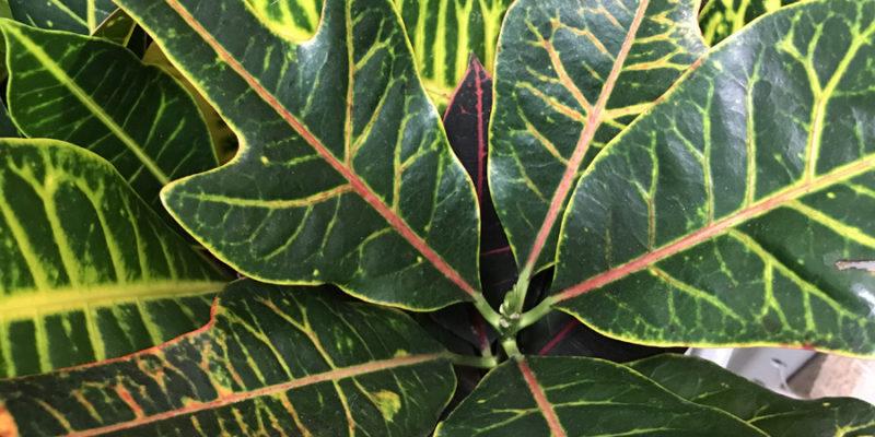 Кротон (кодиеум пестрый)