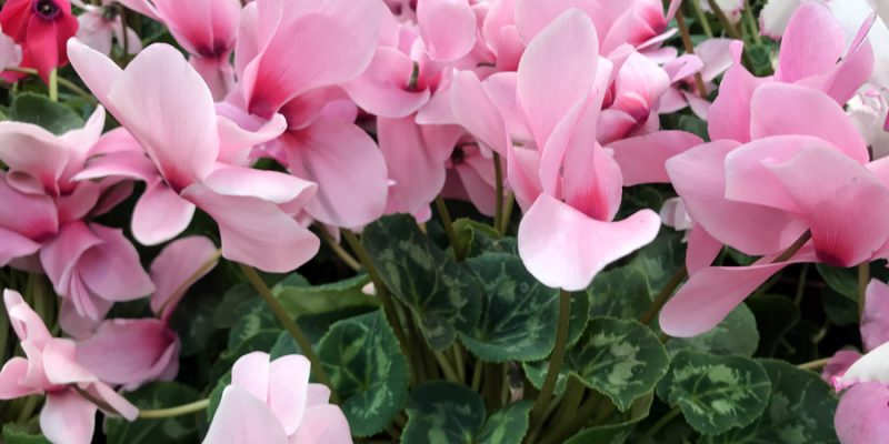 Цикламен персидский (Cyclamen persicum): уход и размножение в домашних условиях