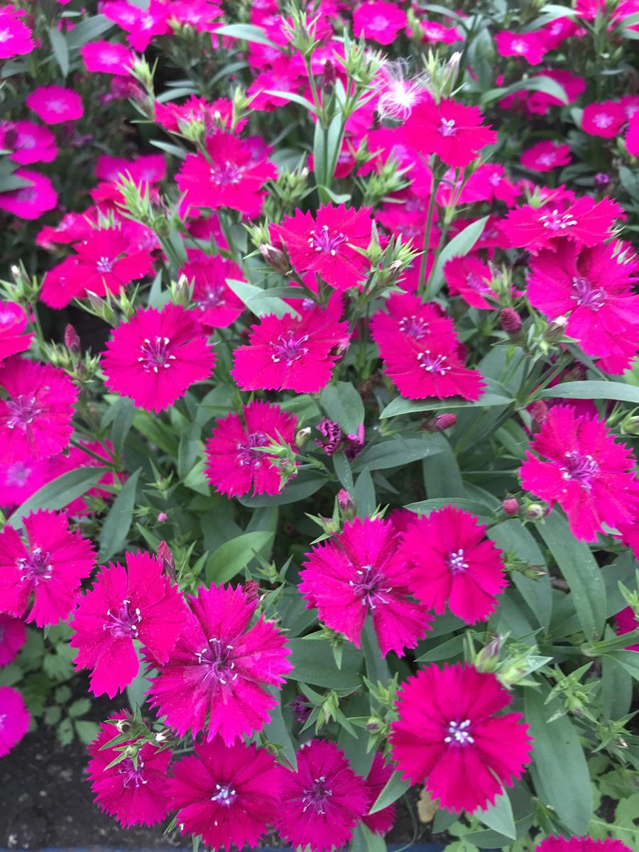 Гвоздика китайская (лат. Dianthus chinensis)