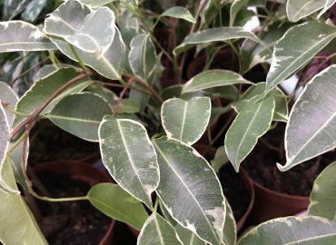 Фикус Бенджамина (Ficus Benjamina): уход и размножение