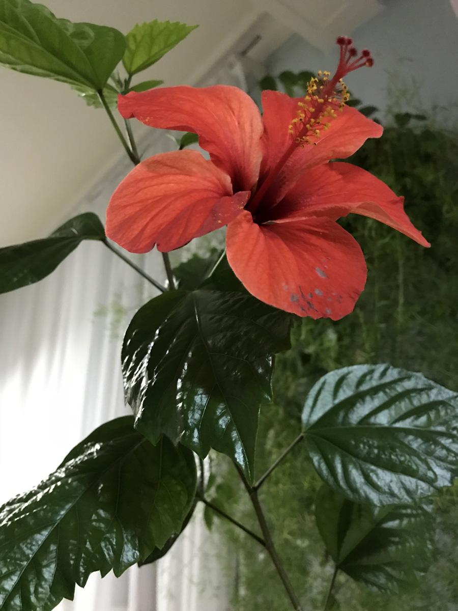 Гибискус китайский (Китайская роза)