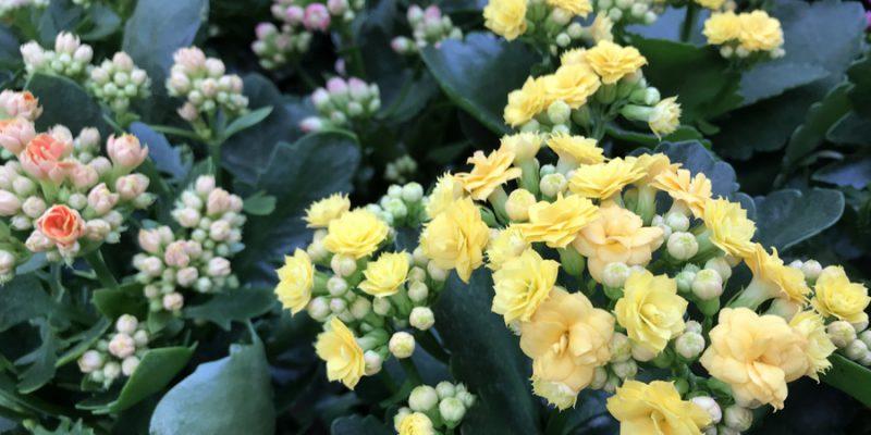 Каланхоэ Блоссфельда (Kalanchoe blossfeldiana): уход от А до Я