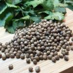 Кориандр: польза пряности для здоровья и противопоказания