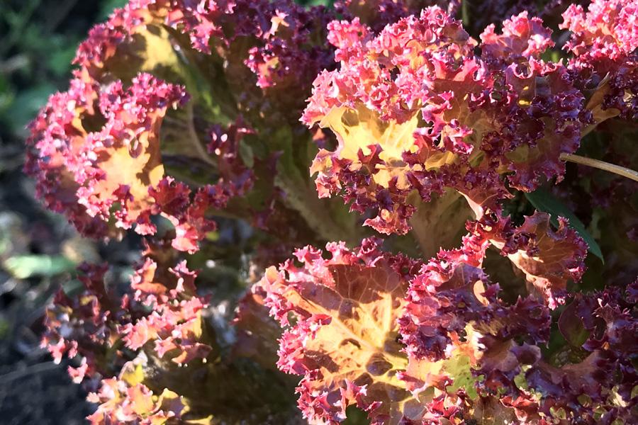 Листовой салат: уборка урожая и хранение