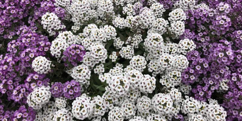 Лобулярия морская (газонница приморская): выращивание, размножение, сорта