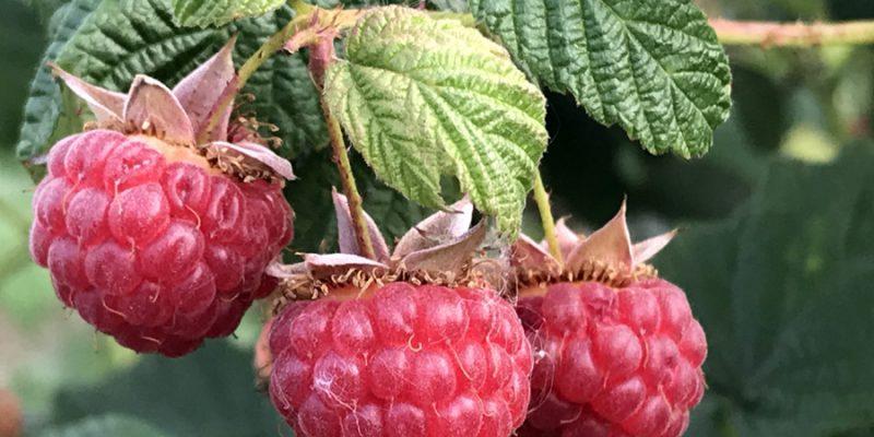 Малина: польза ягод и листьев для здоровья