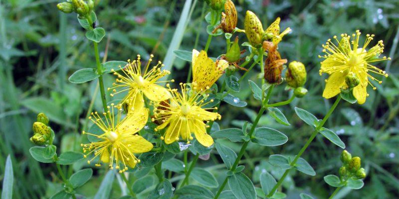 Лекарственные растения: природные антибиотики