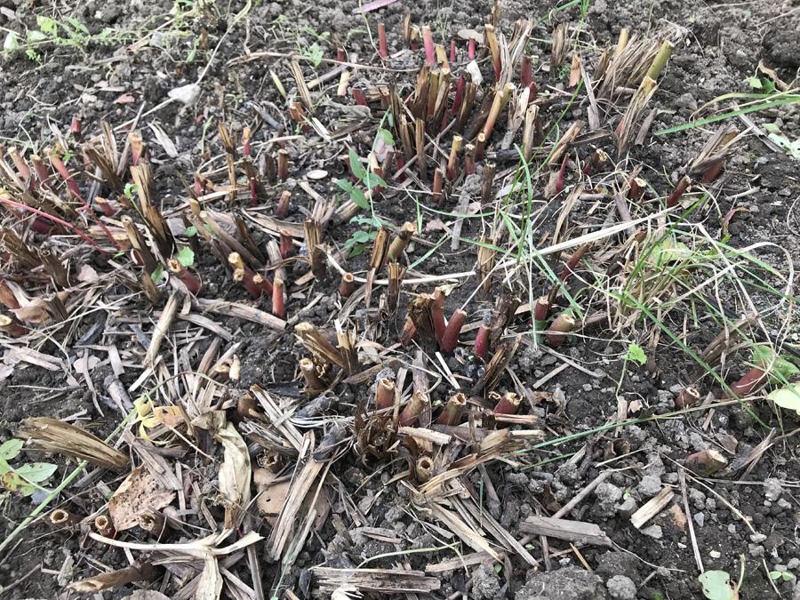 Обрезка травянистых пионов поздней осенью