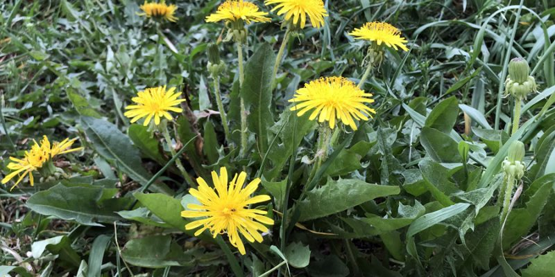 Корень и листья одуванчика: полезные свойства