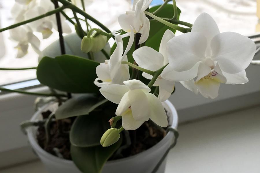 Орхидея фаленопсис: уход в домашних условиях