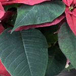 Пуансеттия (Рождественская звезда): легенды и уход за растением от А до Я