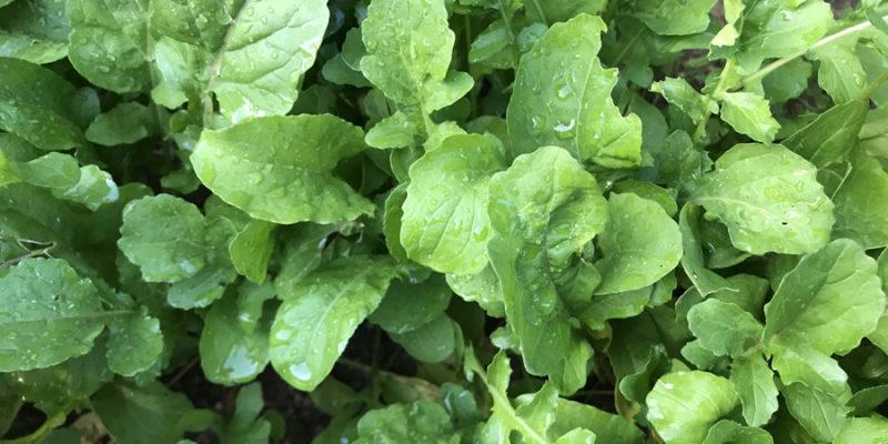 Выращивание рукколы: посадка, уход и сбор урожая