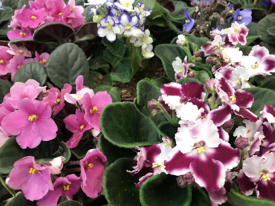 Узамбарские фиалки (лат. Saintpaulia Ionantha hybrids)