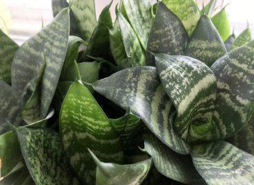 Сансевиерия трехполосная (Sansevieria trifasciata): вечнозеленая экзотика