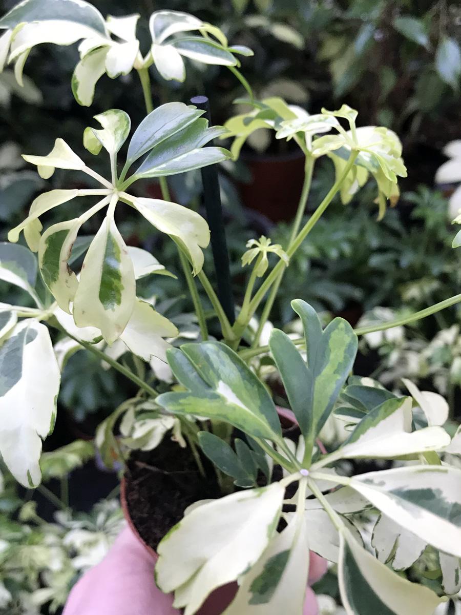 Шеффлера «Жанин» (лат. Schefflera arboricola 'Janine')