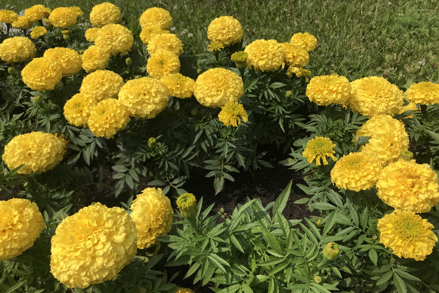 Бархатцы: выращивание и уход в открытом грунте