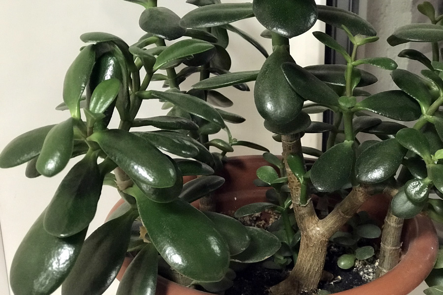 Толстянка яйцевидная (Crassula ovata): уход в домашних условиях
