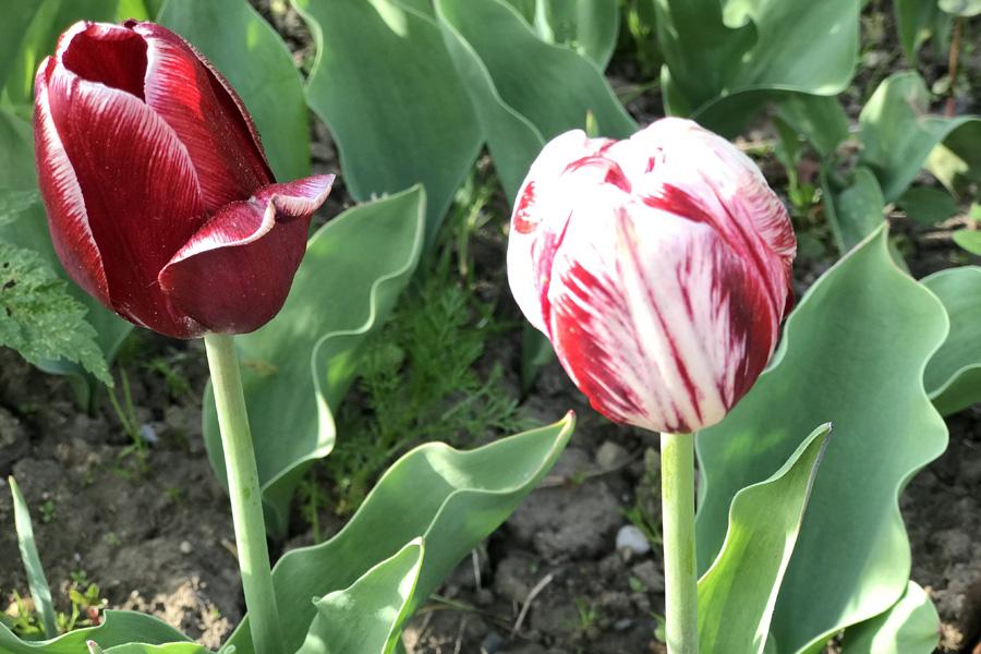 Тюльпаны: выращивание, посадка, зимовка
