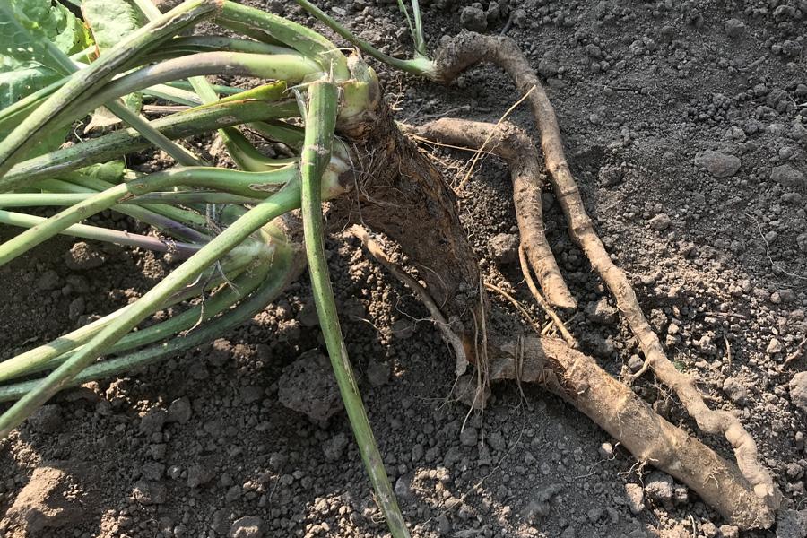 Хрен: сбор урожая и хранение на зиму