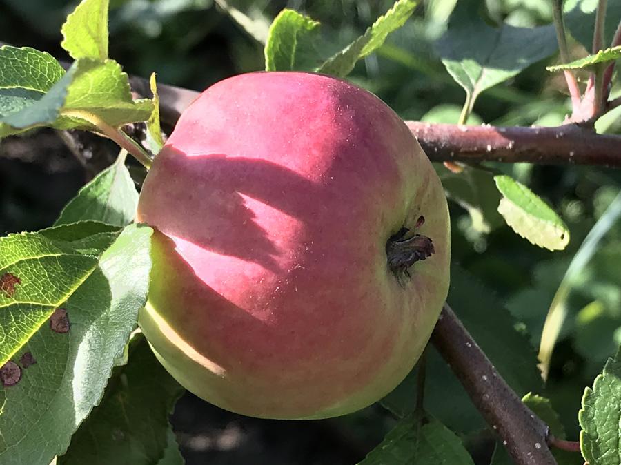 Яблоки полезны для здоровья