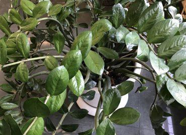 Замиокулькас замиелистный (Zamioculcas zamiifolia): уход и размножение