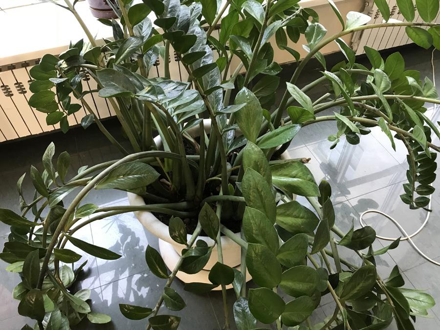 Замиокулькас замиелистный (Долларовое дерево)
